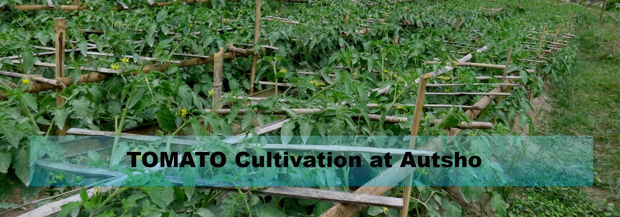 tomato-at-autsho